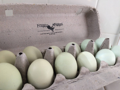 Easter Egger Large Fowl Chicken Hatching Eggs 12+