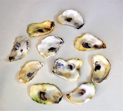 10 Pack Small Natural Oyster Shells