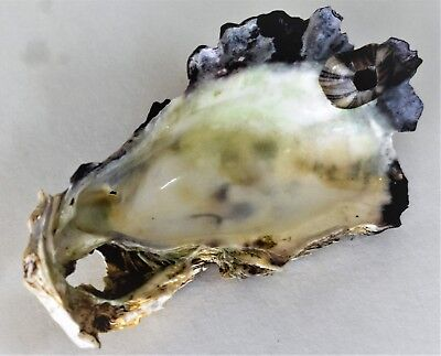 Single Oyster Shell 1