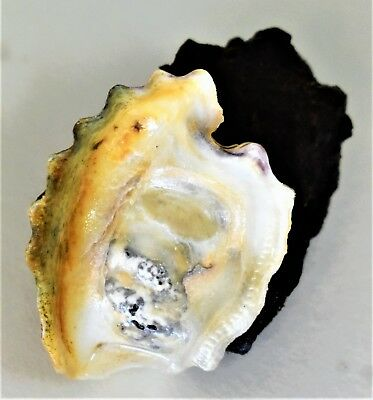 Single Oyster Shell 3