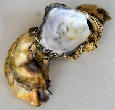 Single Oyster Shell 4