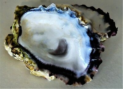 Single Oyster Shell 5
