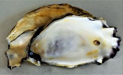 Single Oyster Shell 6
