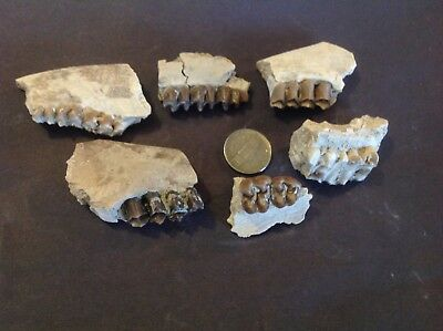 Fossil oreodont jaws