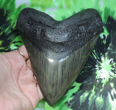 Massive 5 11/16'' Megalodon Sharks Tooth Fossil Sharks Teeth