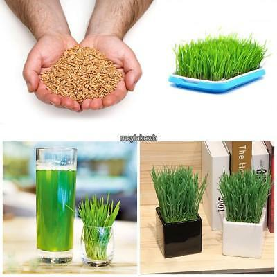 1 Bag Sprouting Seeds Wheat Seeds Plant Food Seeds Farm Seed RLWH 02