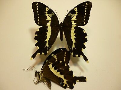 Real Dried Insect/Butterfly/MothNon-Set.B3511 Large Papilio delalandei