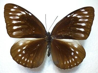 Real Butterfly/Insect Set/Spread.B4201 Lge Euploea viola species Female 8.5 cm