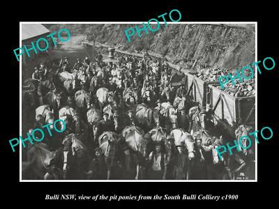 OLD LARGE HISTORIC PHOTO OF BULLI NSW, PIT PONIES FROM COAL MINE c1900