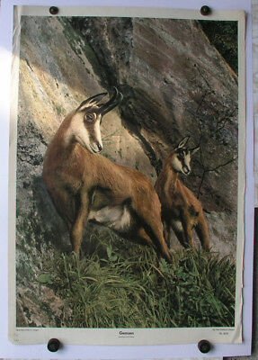 Ancienne Peinture Murale Chamois Gams Gamswild 64x92 ~1955 Vintage Chart