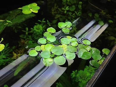 25 Water Plants, Pond Plant Mini Lily Pads - Frogbit x 5 x 5