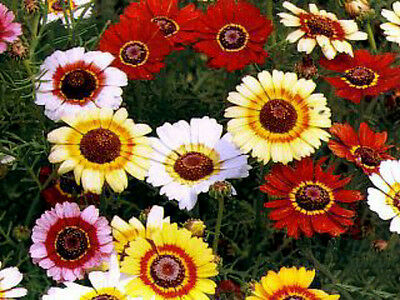 1/4 oz Painted Daisy Seed, Mixed Painted Daisies, Non-GMO, Bulk Seeds About 2500