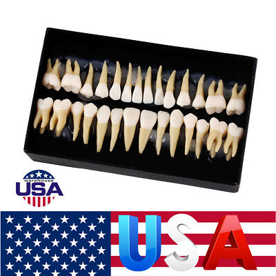 USPS Ship!!! Dental 1:1 Permanent Teeth Model Teach/Study Model 7008 28Pcs/Set