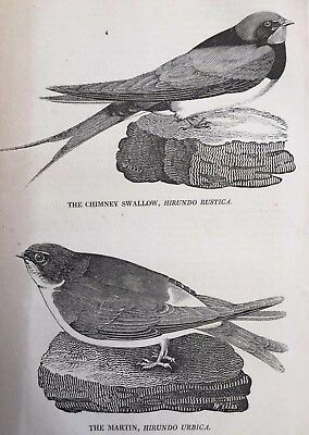 1823 Antique Print; The Chimney Swallow & The Martin