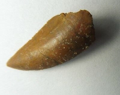 Raptor Tooth (2.0 cm) - Cretaceous Period - Morocco