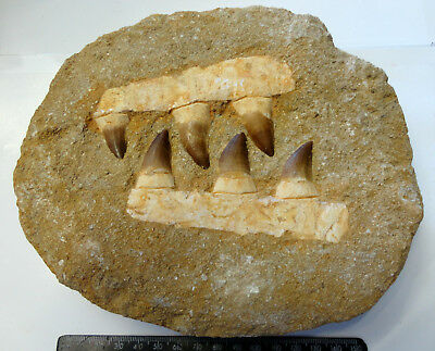 MOSASAUR FOSSIL DINOSAUR 6 LARGE TEETH DOUBLE JAW Morocco 190mm - 200mm
