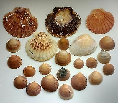 Large Sea Shells 23 Mixed Seashells Natural Pink Scallop Bivalve Thick Chunky