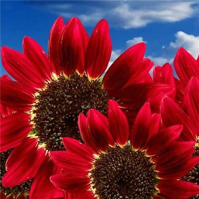 15x Helianthus Red Sunflower Seeds Red Sun Fortune Bloom Heirloom Seeds LA