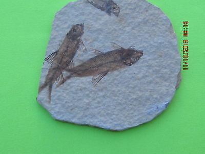 Fossil Fish  Plate Of Two