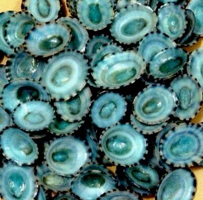 100 Green Blue Limpet Seashells Natural  ALL PERFECT HAND SORTED
