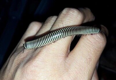 Ivory Millipede Chicobolus spinigerus live insect classroom easy care get big