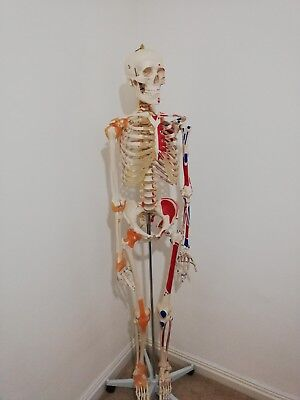 Full size anatomical skeleton w/ muscles & ligaments