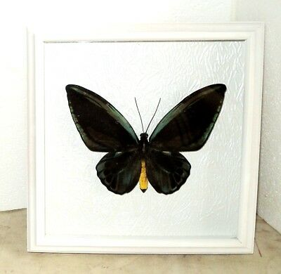 Ornithoptera priamus urvillianus male ABERRATION in the frame of expensive wood.