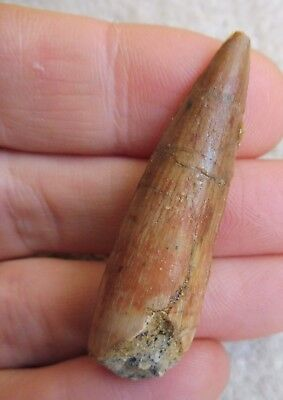 Spinosaurus Tooth 2.00 inches (5.0 cm) - Cretaceous Morocco (KemKem Basin)