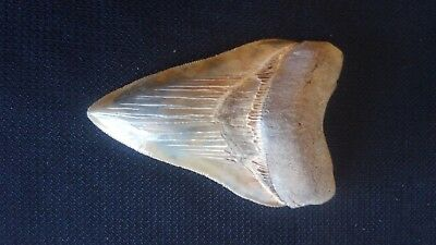 """Beautiful, Large Megalodon Tooth Almost 5"""""""