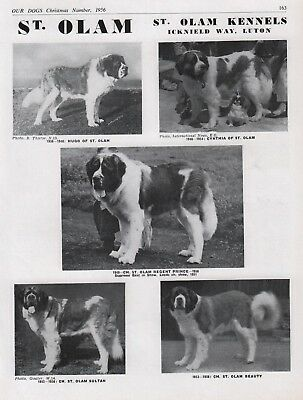 Saint Bernard Dog Breed Kennel Advert Print Page Our Dogs St. Olam Kennels 1956