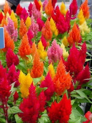 Plumed Cockscomb Mix - Celosia Plumosa (800 Seeds)
