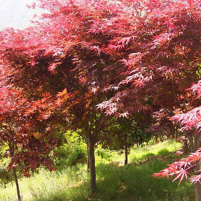 Unique Japanese Maple Tree Bonsai Seeds Acer Palmatum Atropurpureum Plant G$CA
