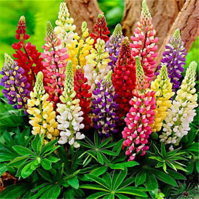 Russell Lupin Mix - Lupinus Polyphyllus (25 Seeds) Perennial Flower!