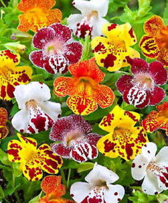 TIGER MONKEY MIX - Mimulus tigrinus grandiflorus (1000 SEEDS) ANNUAL FLOWER!