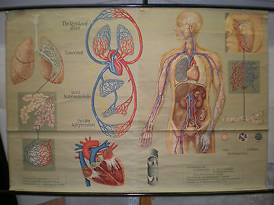 Wall Picture Breathing Circulation Lung Bronchia 166x115 Vintage Chart ~ 1960