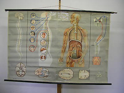Wall Map Wall Picture Nervensystem Brain Man 169x116cm Vintage Wall Chart ~ 1965