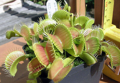 Carnivorous plant - Dionaea muscipula - Red rosetted