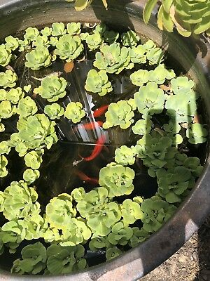 Floating pond Water Lettuce