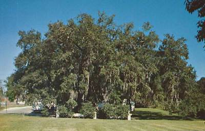 St Martinville Louisiana LA Evangeline Oak Bayou Tech Vintage Postcard Chrome