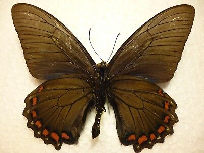 Real Dried Insect/Butterfly/Moth Battus belus Peru  Non set  B3938