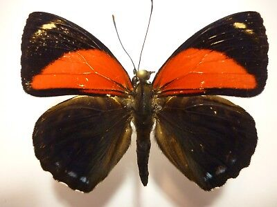 Real Butterfly/Insect Spread B4348 Red/Black Callicore cyllene 4.5 cm