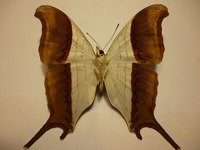 Real Dried Insect/Butterfly Non-Set.B3723 Marpesia coresia Peru