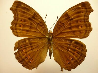 Real Butterfly/Insect Set/Spread.B3420 Aust Junonia hedonia zelima 4 cm