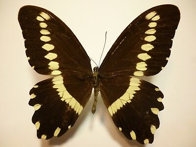 Real Dried Insect/Butterfly/Moth Non-Set.B3725 Papilio gallienus Africa