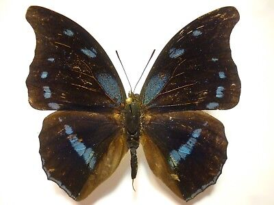 Real Butterfly/Insect/Moth Set/Spread.B4431 Blue Charaxes mycerina 5.5 cm