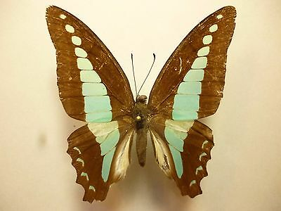 Real Butterfly/Insect/Moth Set/Spread B2324  Graphium sarpedon Blue Triangle 5cm