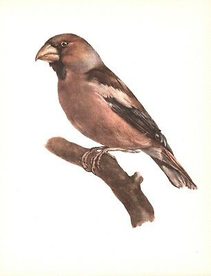 The Hawfinch - 1959 Beautiful Colour Vintage Bird Print by E DeMartini