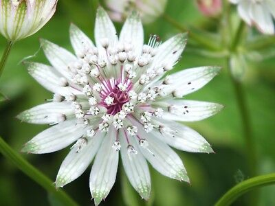 Astrantia Major - 20 Seeds - Great Mastorwort - Hardy Perennial Flower