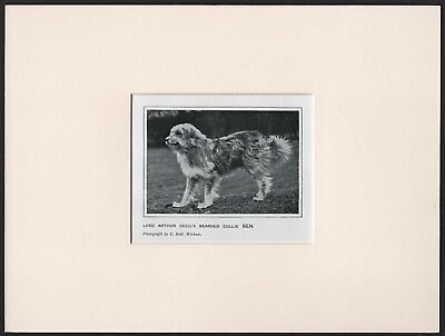 Bearded Collie Old Antique 1912 Named Dog Print Mounted Ready To Frame