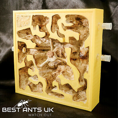 Yellow Crazy Ant Nest with Plaster bed Hybrid Nest Ant Farm Formicarium Cool